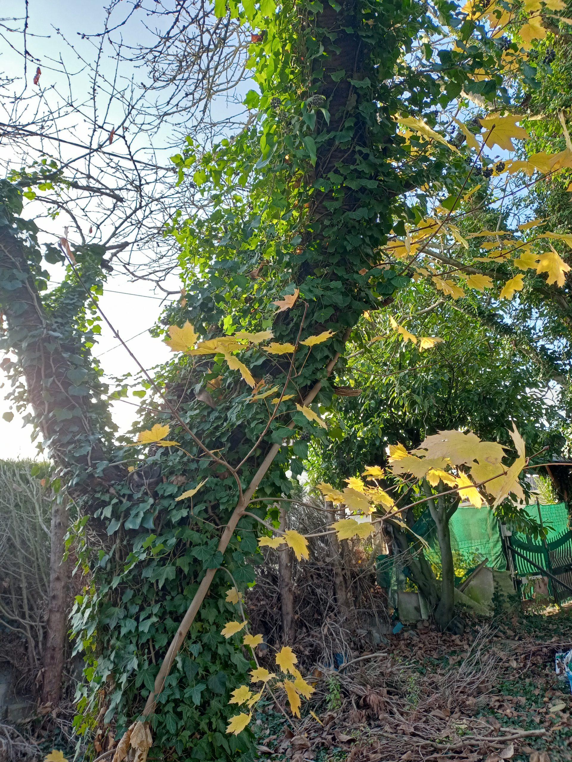 Petit chêne qui grandit sur un autre chêne, c'est méta
